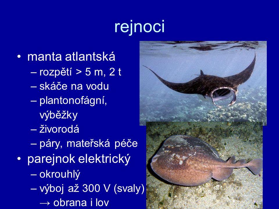 rejnoci manta atlantská parejnok elektrický rozpětí > 5 m, 2 t