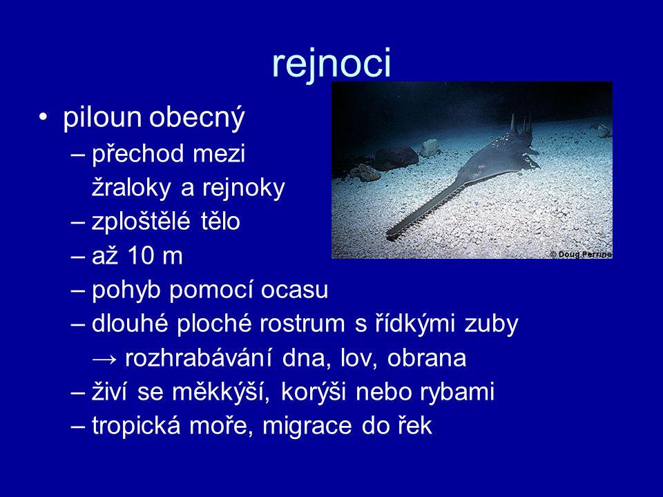 rejnoci piloun obecný přechod mezi žraloky a rejnoky zploštělé tělo