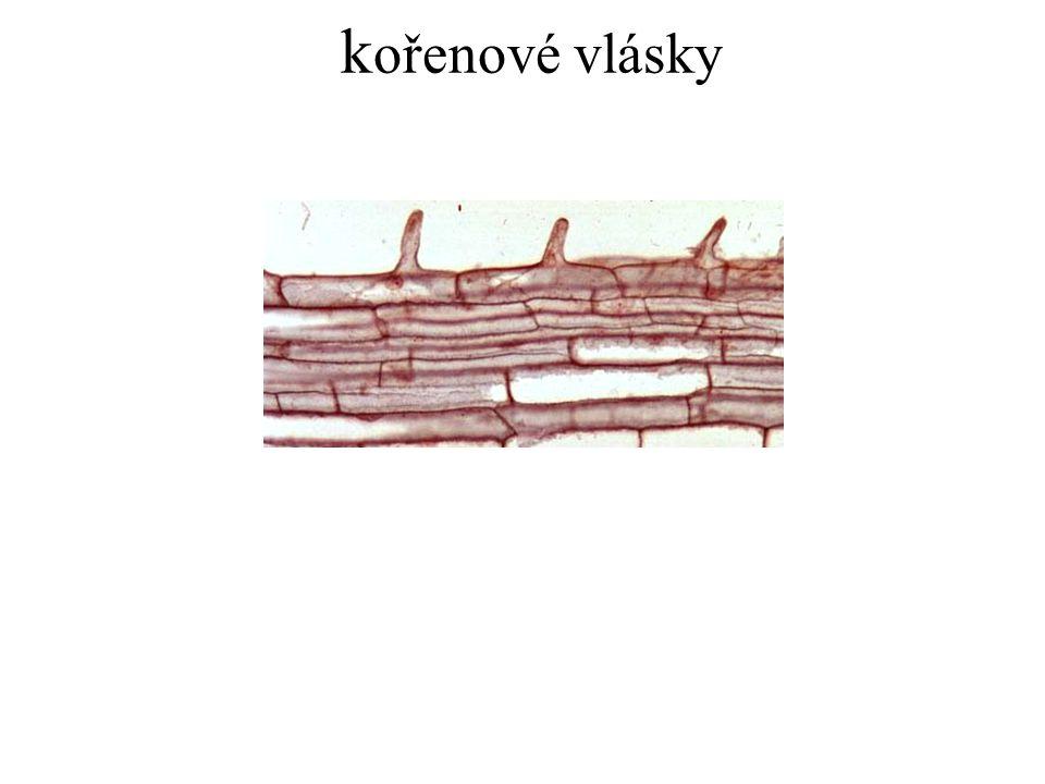 kořenové vlásky