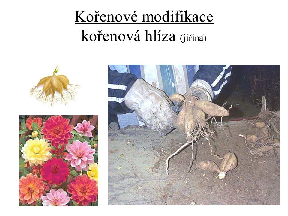 Kořenové modifikace kořenová hlíza (jiřina)