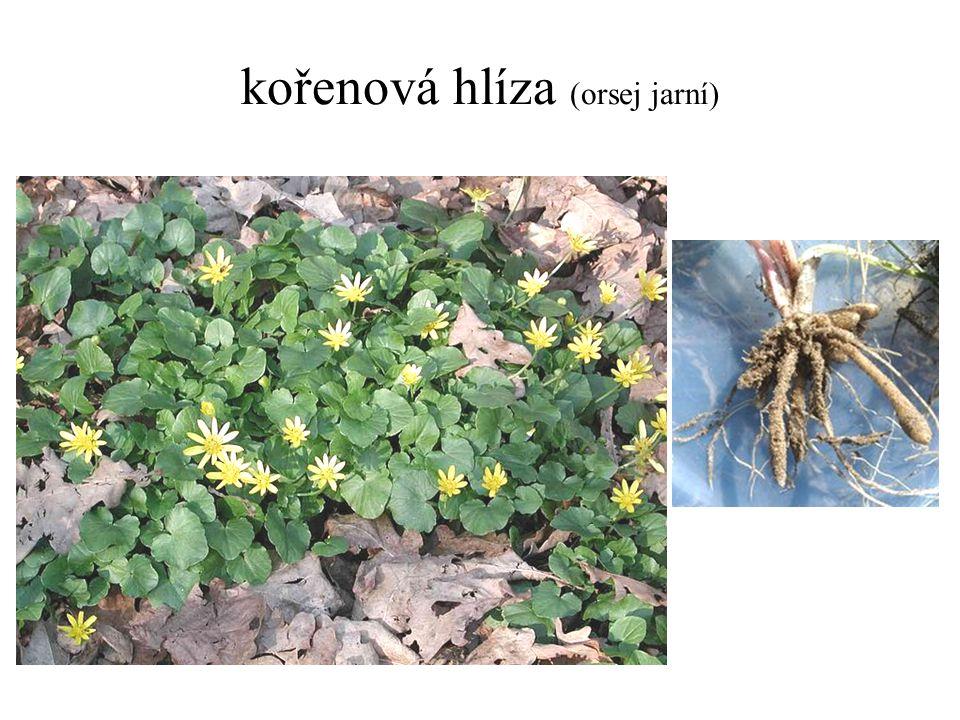 kořenová hlíza (orsej jarní)