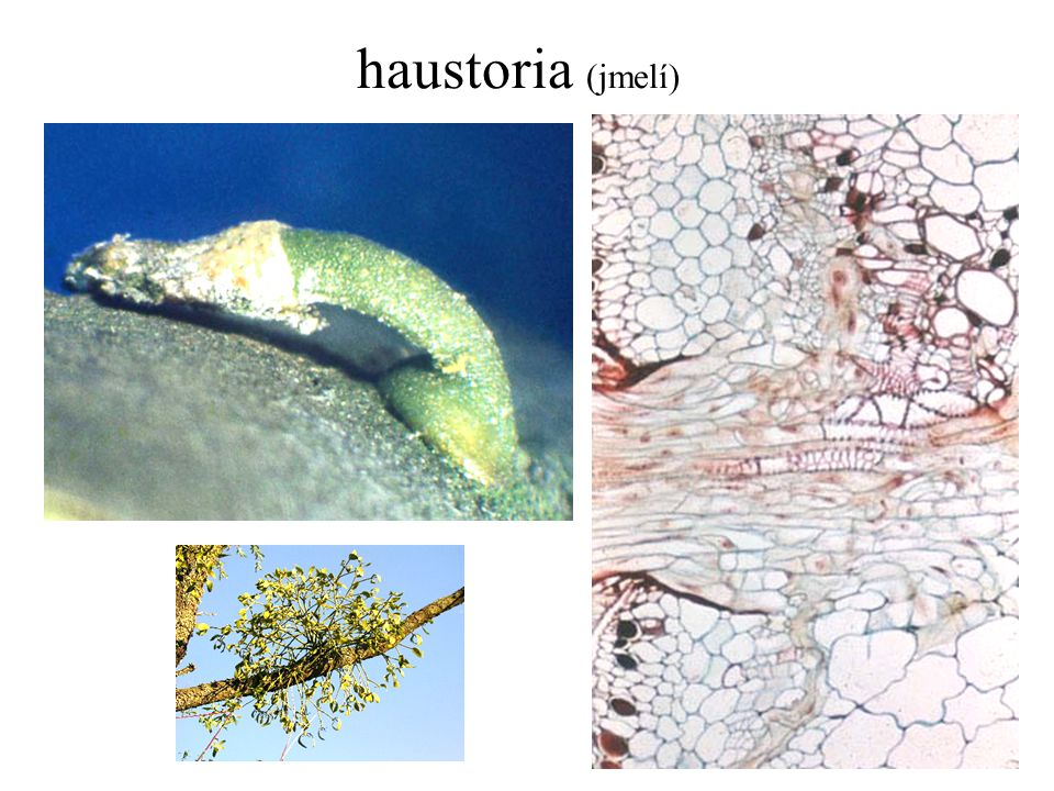 haustoria (jmelí)
