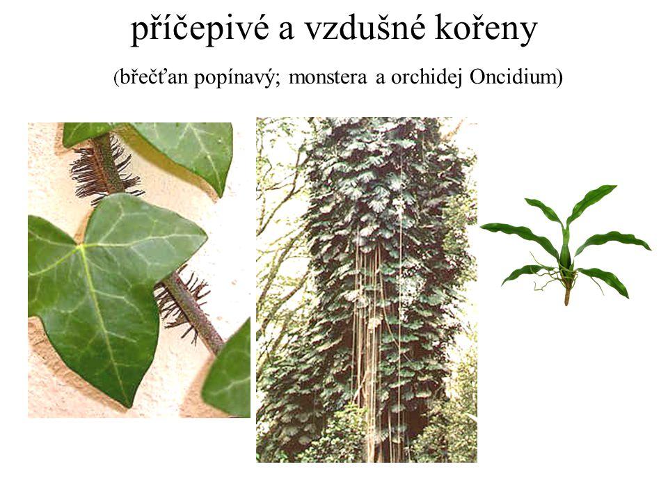 příčepivé a vzdušné kořeny (břečťan popínavý; monstera a orchidej Oncidium)