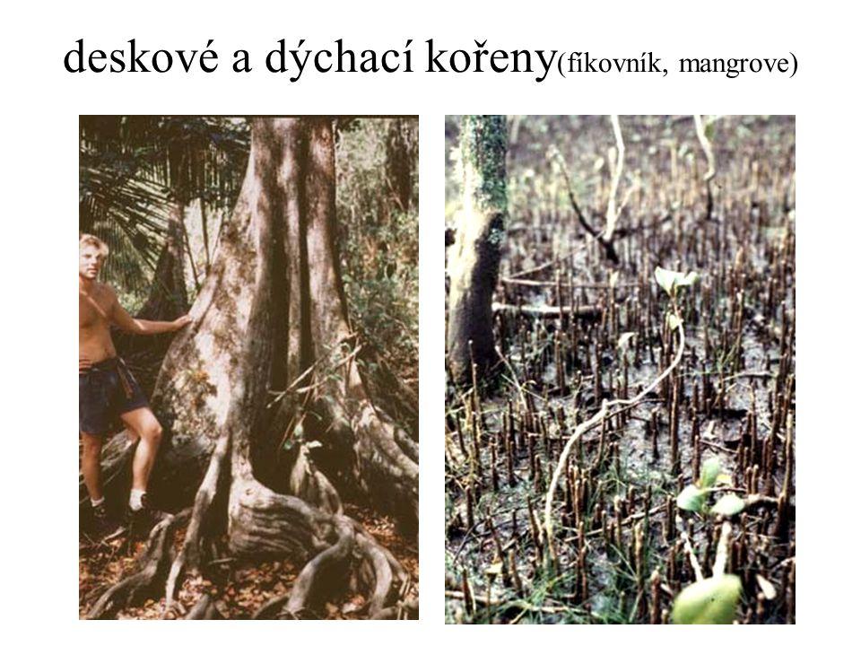 deskové a dýchací kořeny(fíkovník, mangrove)