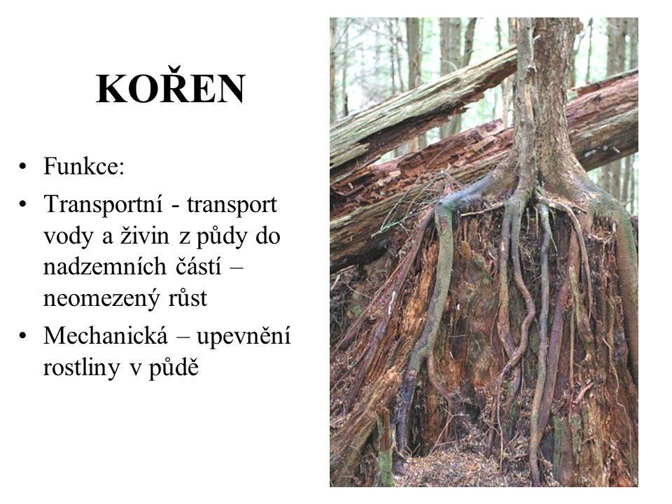 KOŘEN Funkce: Transportní - transport vody a živin z půdy do nadzemních částí – neomezený růst.