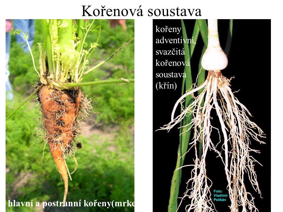 Kořenová soustava kořeny adventivní, svazčitá kořenová soustava (křín)