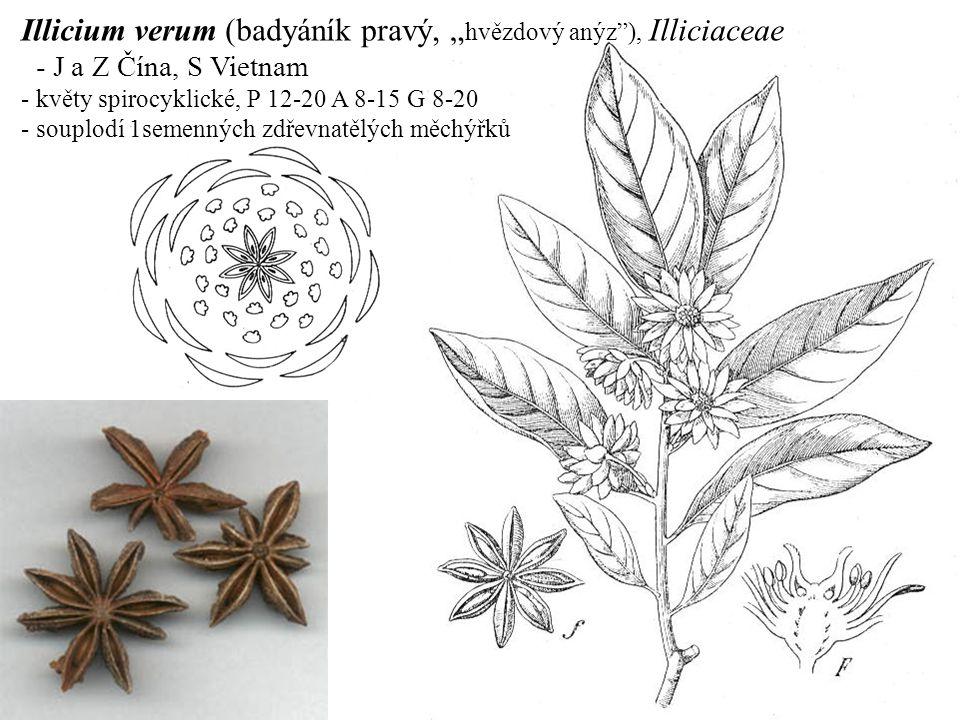 "Illicium verum (badyáník pravý, ""hvězdový anýz ), Illiciaceae"