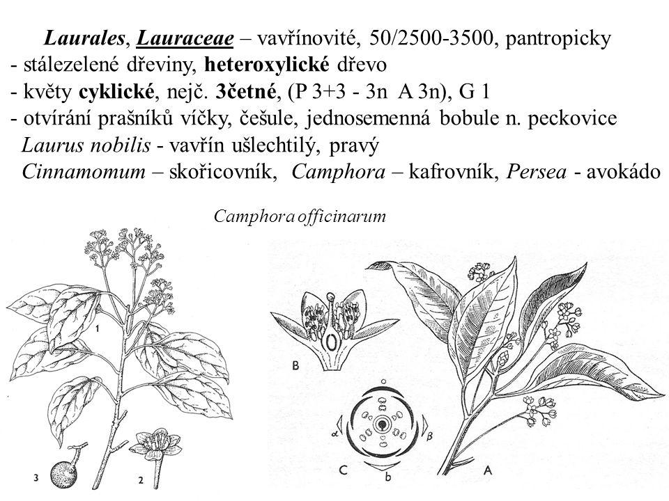 Laurales, Lauraceae – vavřínovité, 50/2500-3500, pantropicky