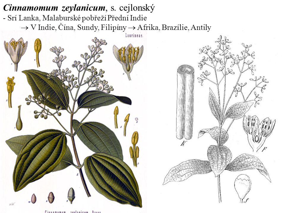 Cinnamomum zeylanicum, s. cejlonský