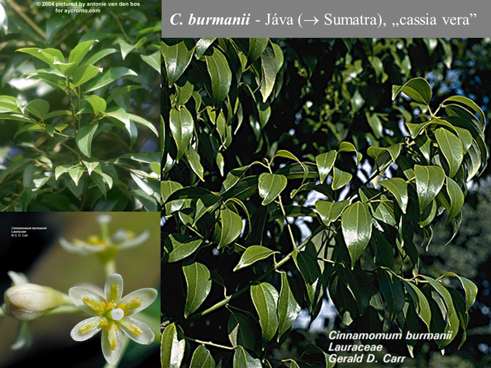 """C. burmanii - Jáva ( Sumatra), """"cassia vera"""