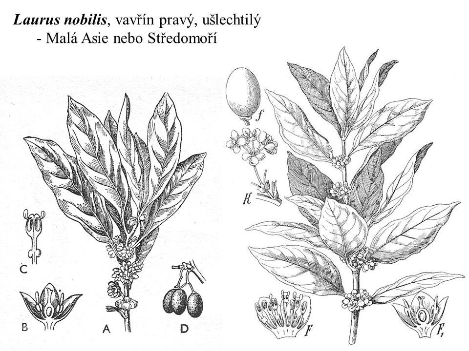 Laurus nobilis, vavřín pravý, ušlechtilý
