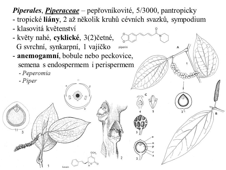 Piperales, Piperaceae – pepřovníkovité, 5/3000, pantropicky