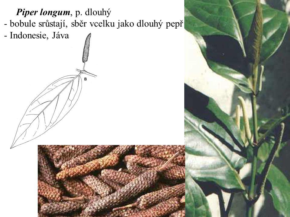 Piper longum, p. dlouhý - bobule srůstají, sběr vcelku jako dlouhý pepř - Indonesie, Jáva