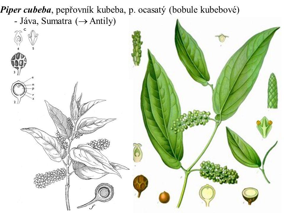 Piper cubeba, pepřovník kubeba, p. ocasatý (bobule kubebové)
