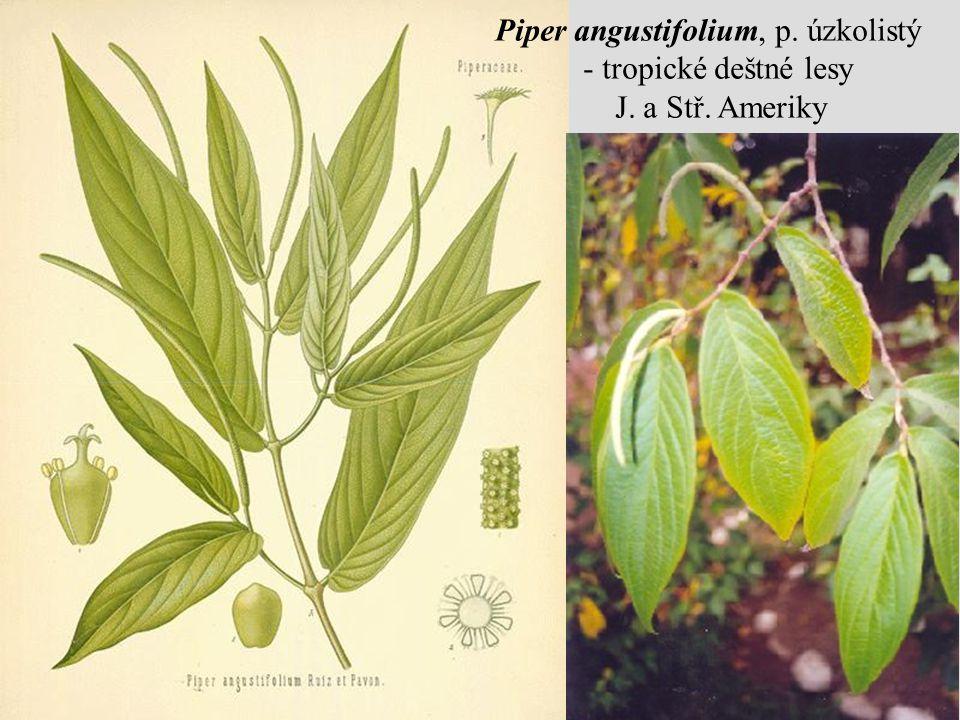 Piper angustifolium, p. úzkolistý