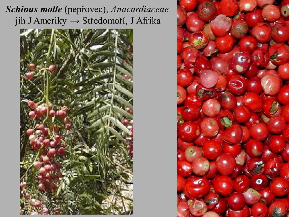 Schinus molle (pepřovec), Anacardiaceae