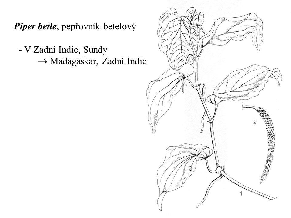 Piper betle, pepřovník betelový