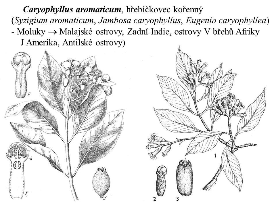 Caryophyllus aromaticum, hřebíčkovec kořenný