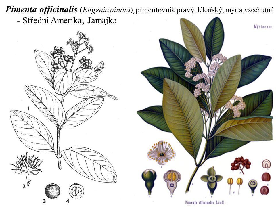 Pimenta officinalis (Eugenia pinata), pimentovník pravý, lékařský, myrta všechutná