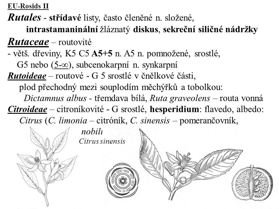 Rutales - střídavé listy, často členěné n. složené,