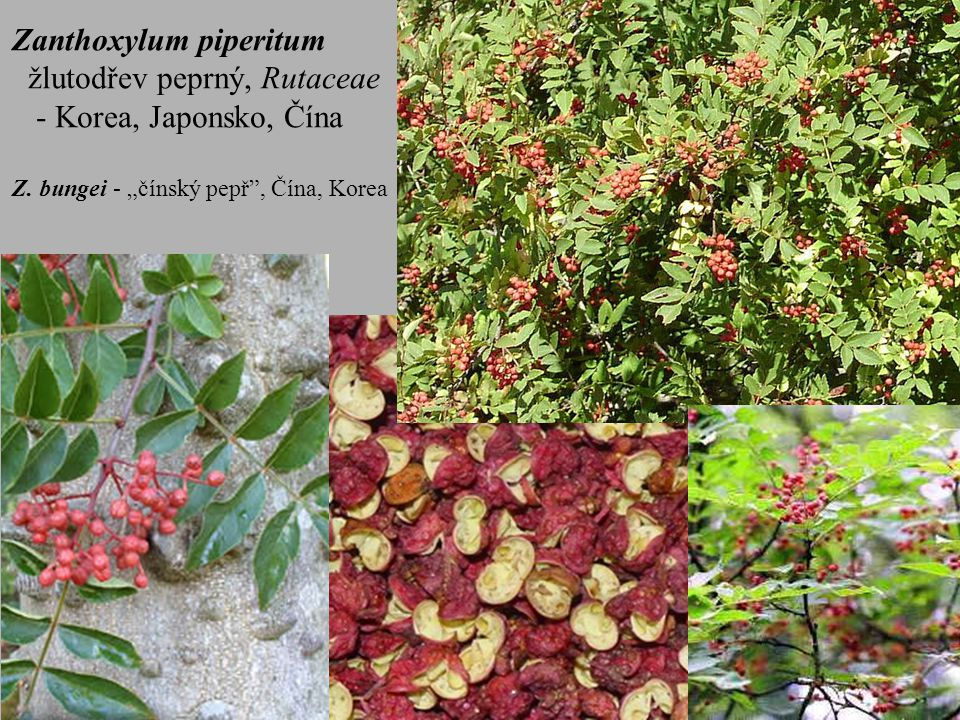 Zanthoxylum piperitum žlutodřev peprný, Rutaceae