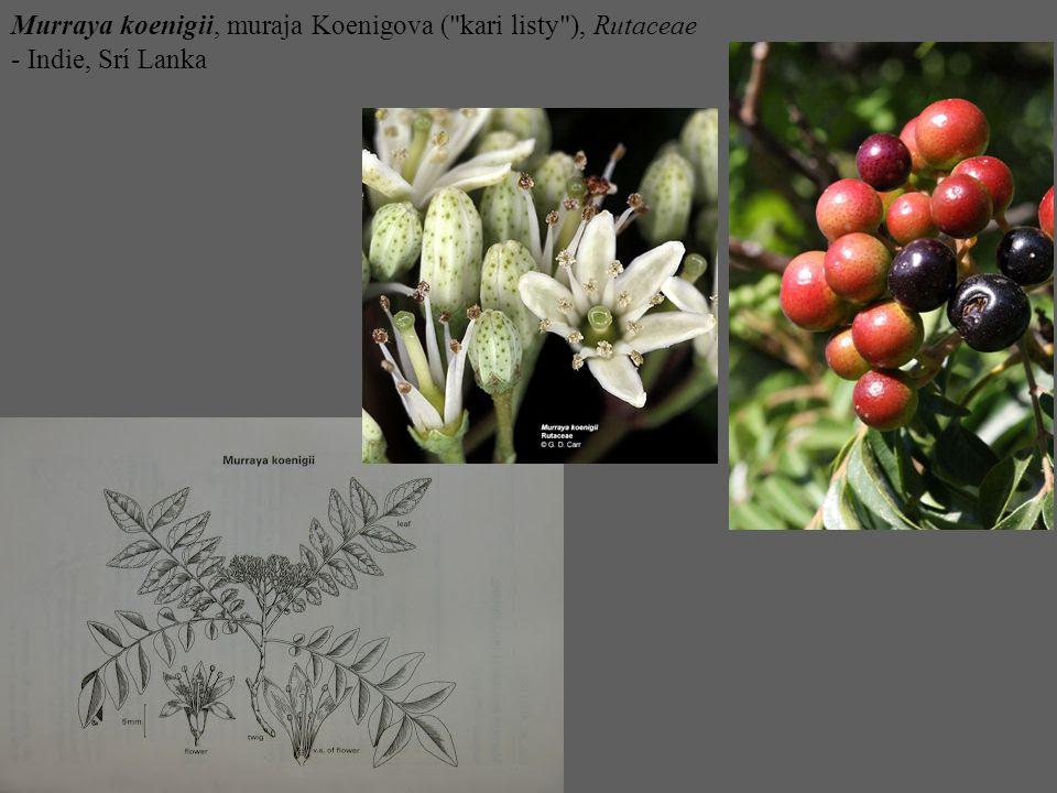 Murraya koenigii, muraja Koenigova ( kari listy ), Rutaceae