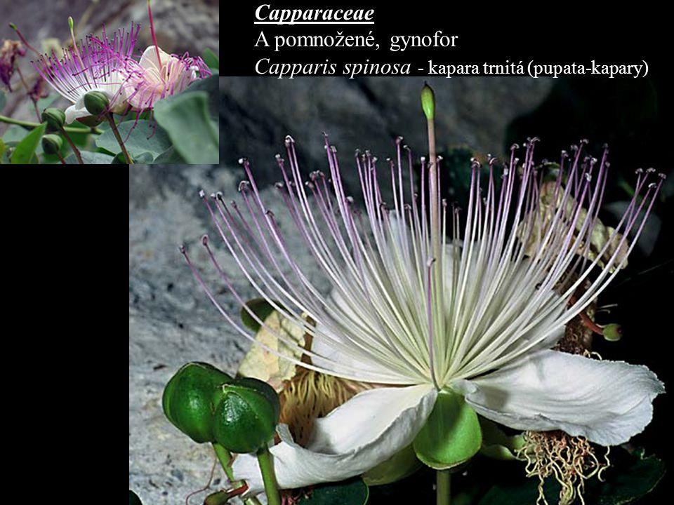 Capparaceae A pomnožené, gynofor Capparis spinosa - kapara trnitá (pupata-kapary)