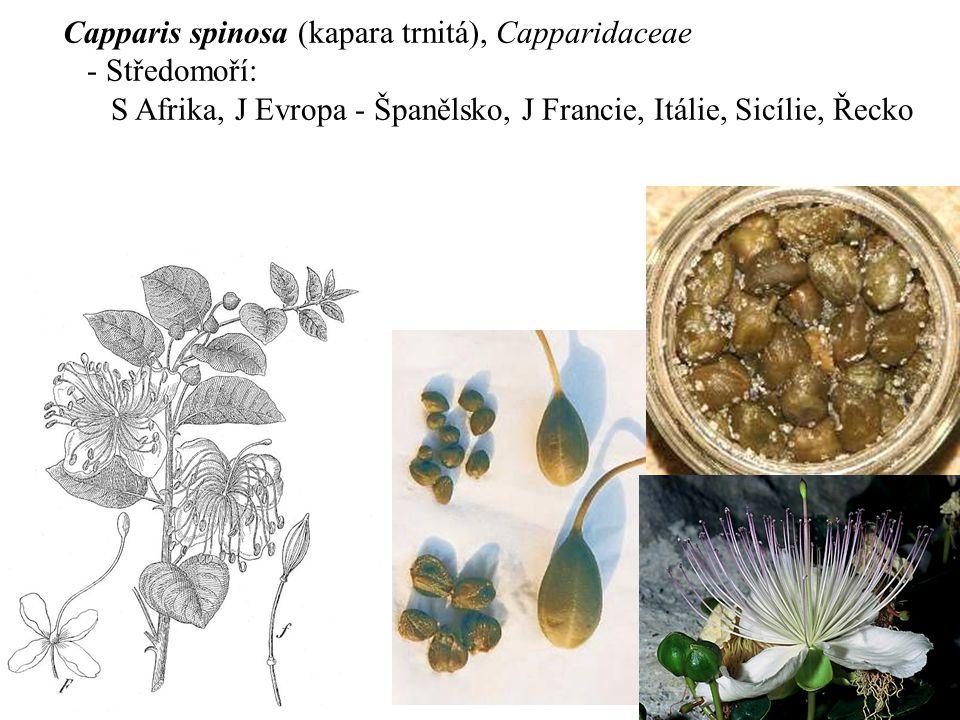 Capparis spinosa (kapara trnitá), Capparidaceae