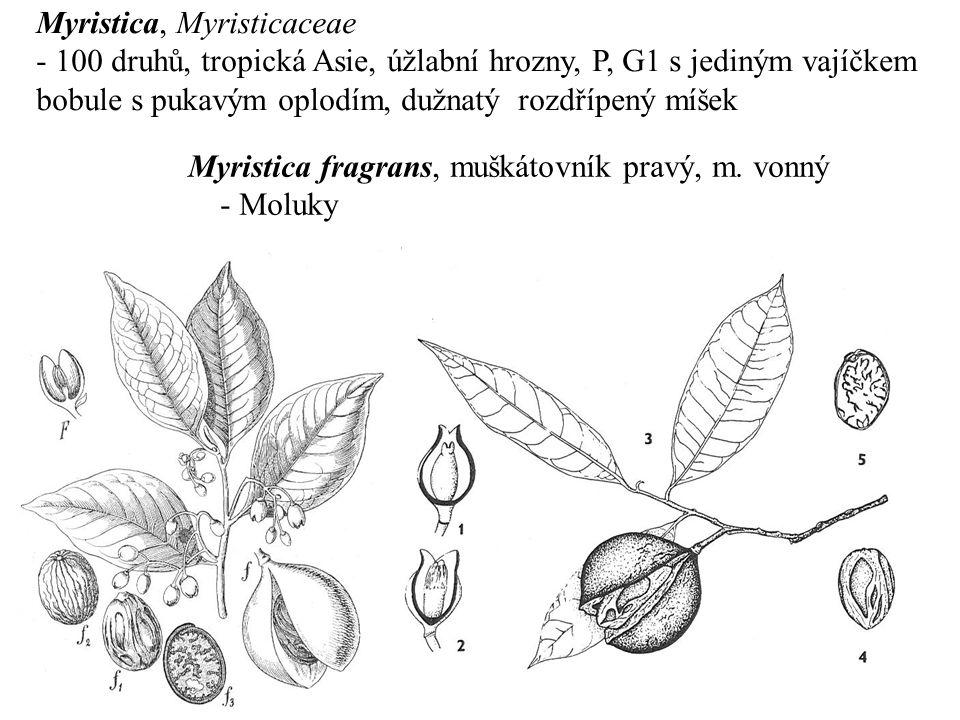 Myristica, Myristicaceae