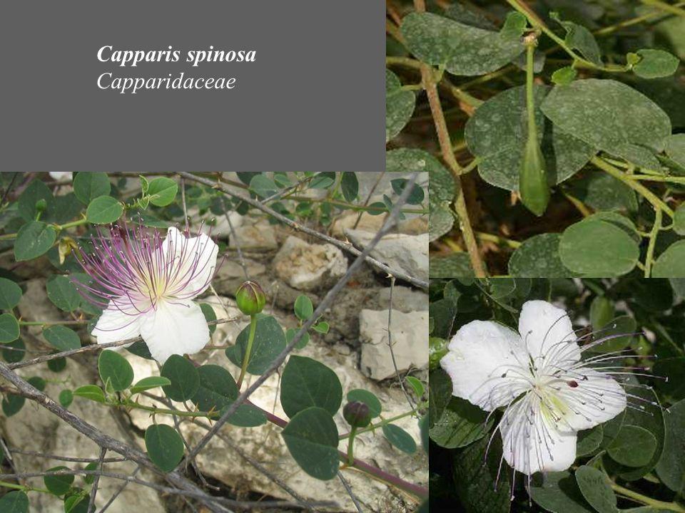 Capparis spinosa Capparidaceae