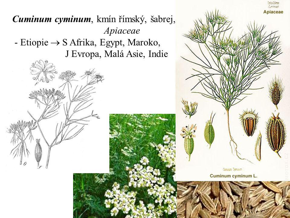 Cuminum cyminum, kmín římský, šabrej,