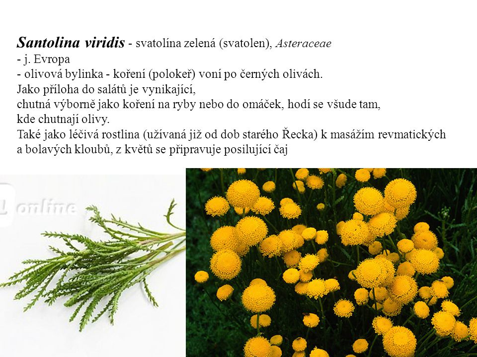 Santolina viridis - svatolína zelená (svatolen), Asteraceae