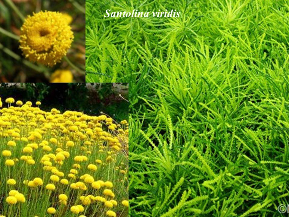 Santolina viridis