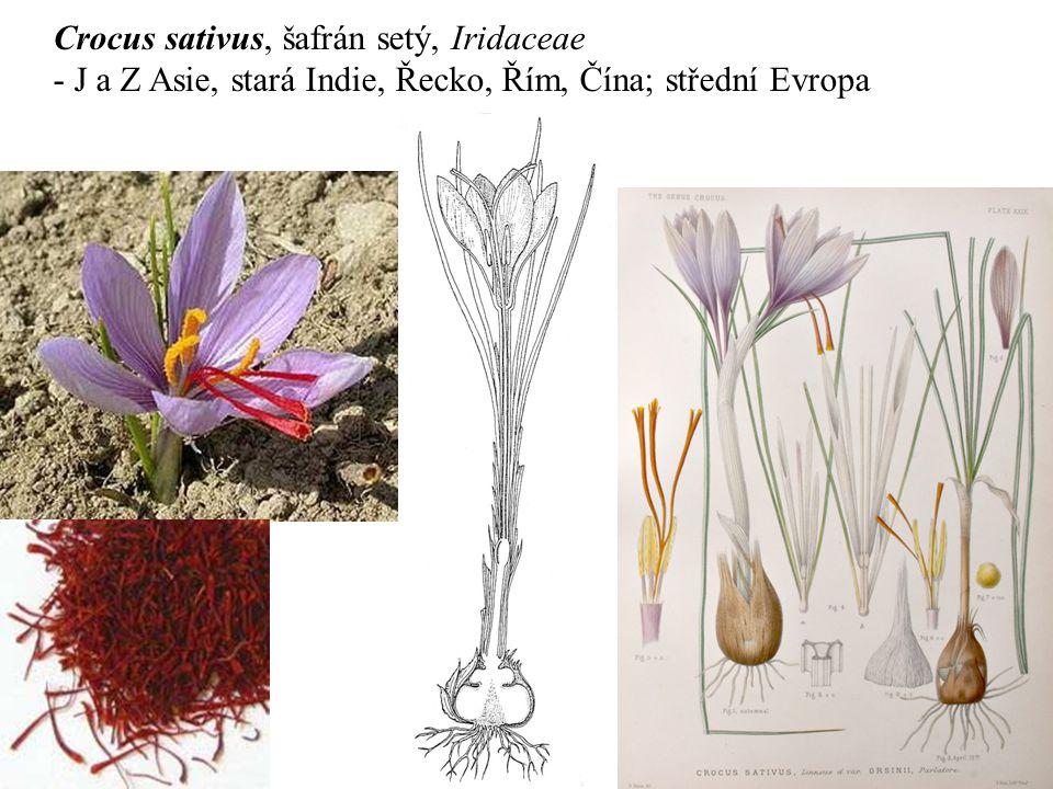 Crocus sativus, šafrán setý, Iridaceae