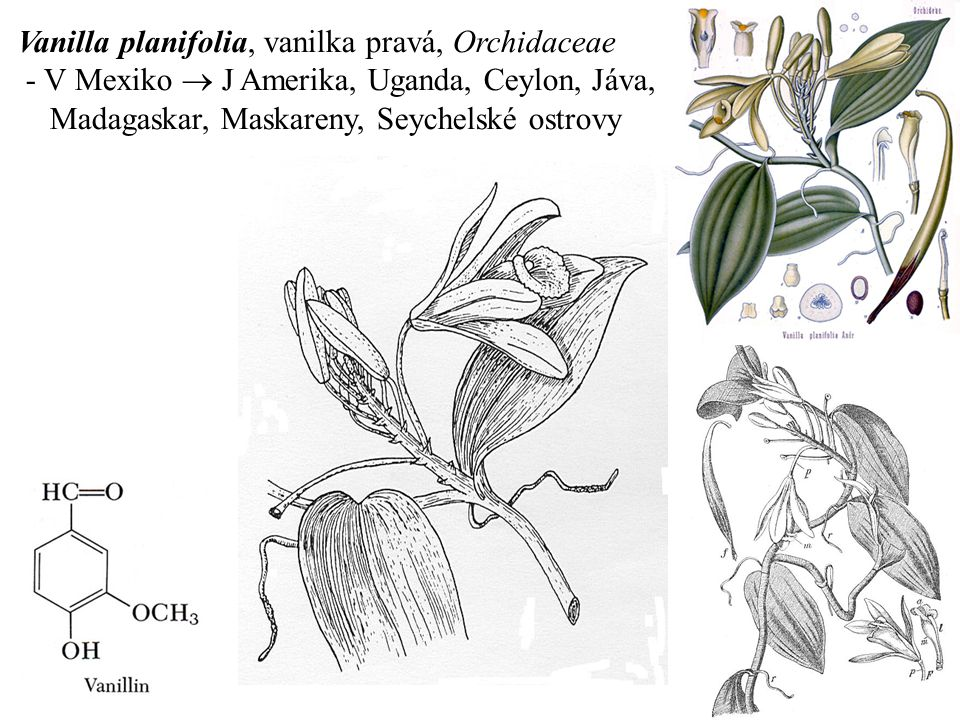 Vanilla planifolia, vanilka pravá, Orchidaceae