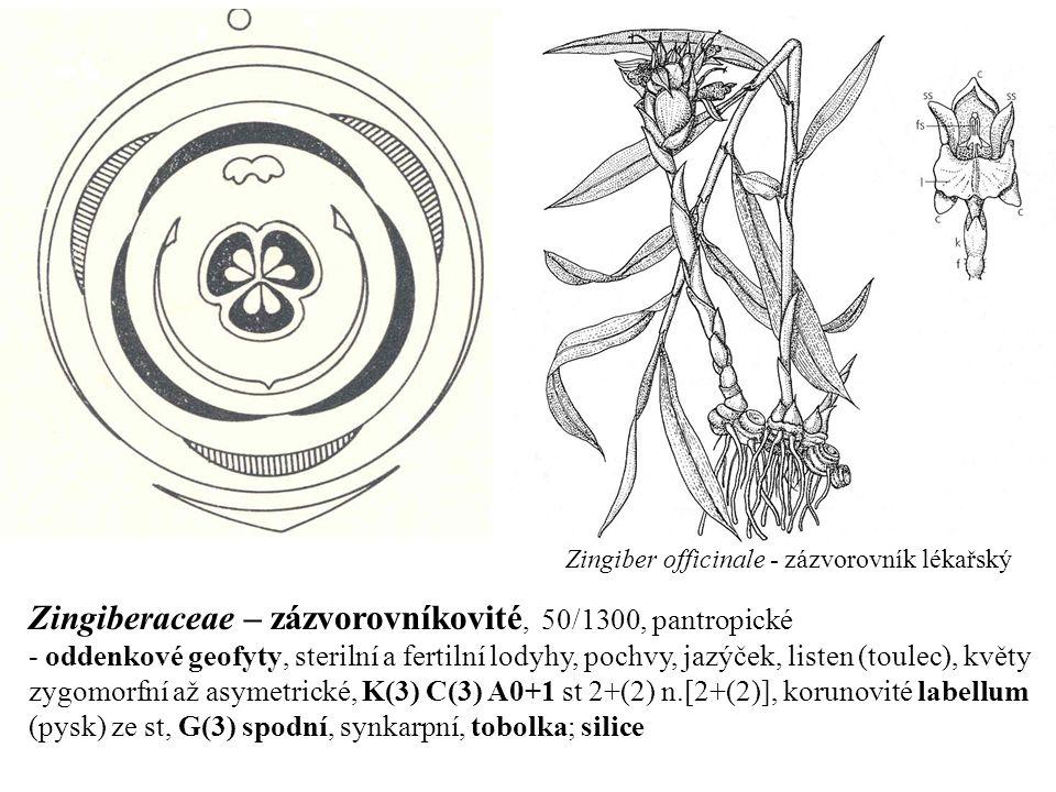 Zingiberaceae – zázvorovníkovité, 50/1300, pantropické