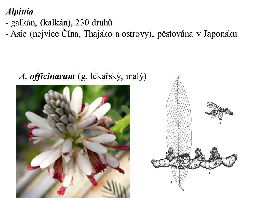 Alpinia - galkán, (kalkán), 230 druhů. - Asie (nejvíce Čína, Thajsko a ostrovy), pěstována v Japonsku.