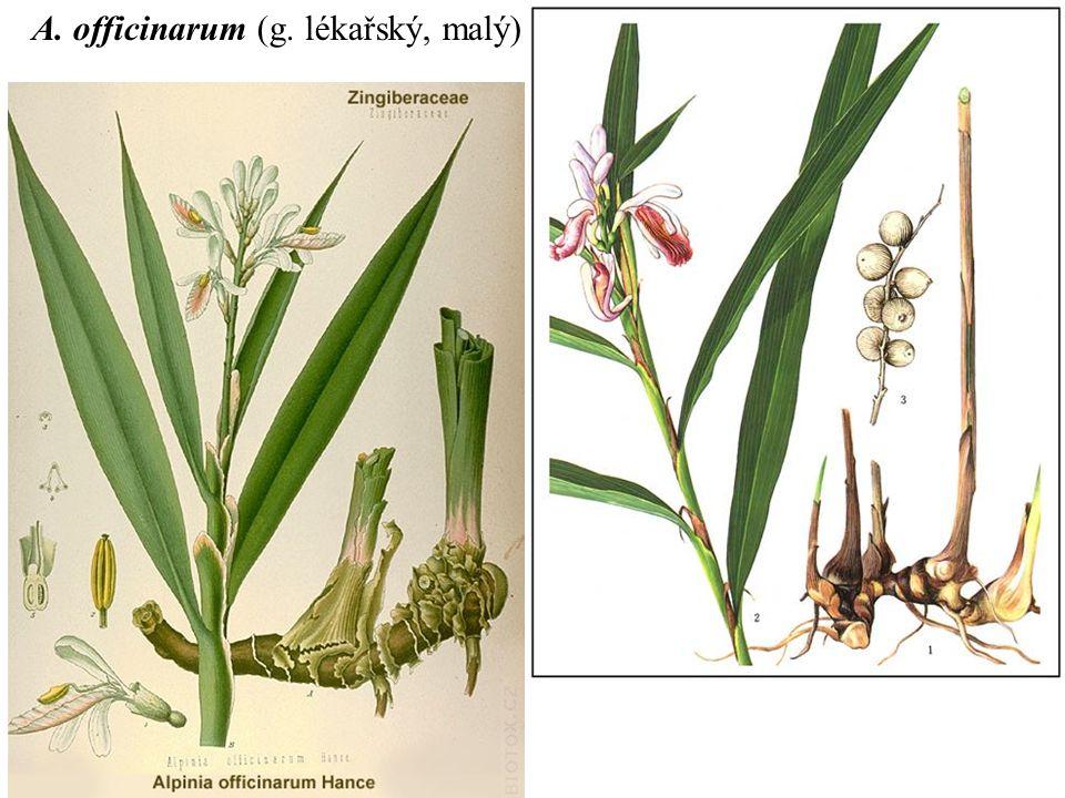 A. officinarum (g. lékařský, malý)