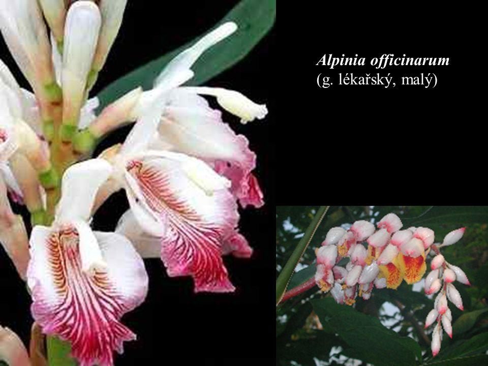 Alpinia officinarum (g. lékařský, malý)