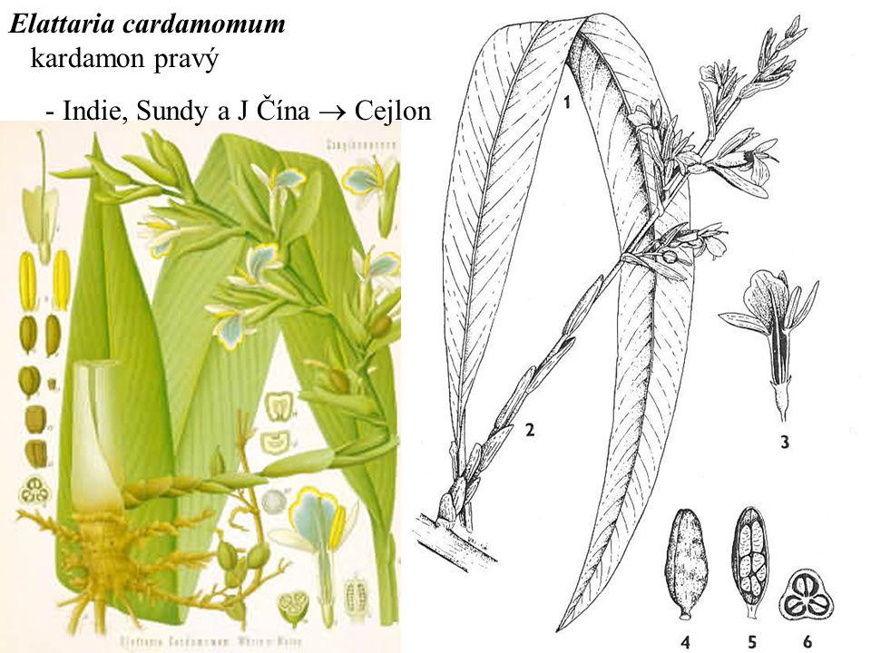 Elattaria cardamomum kardamon pravý - Indie, Sundy a J Čína  Cejlon