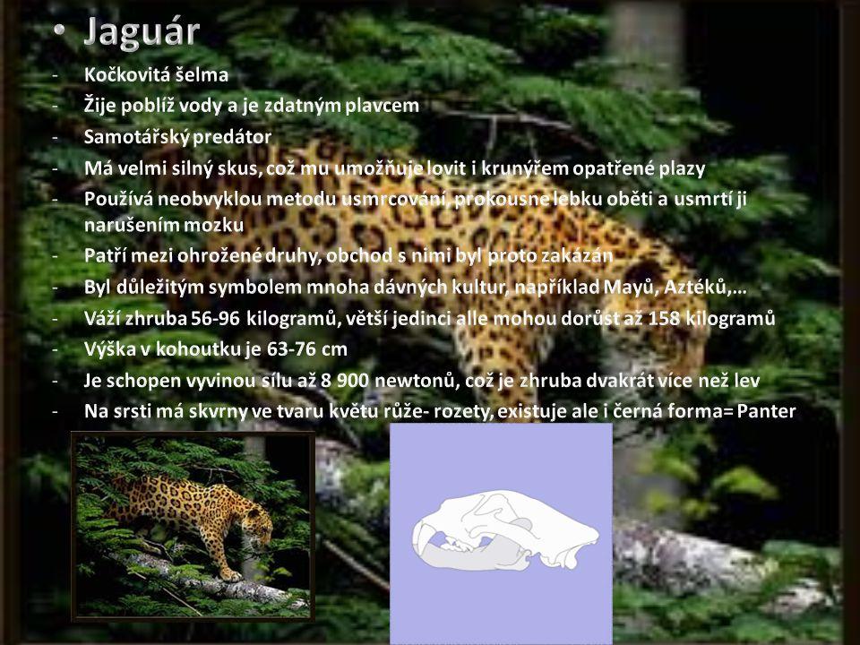 Jaguár Kočkovitá šelma Žije poblíž vody a je zdatným plavcem