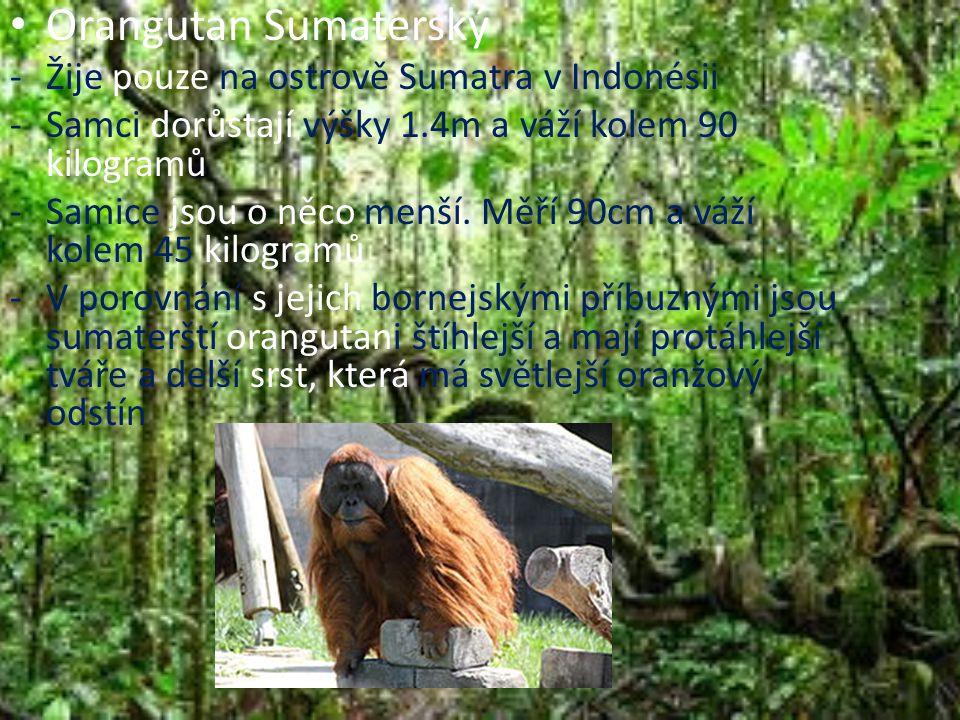 Orangutan Sumaterský Žije pouze na ostrově Sumatra v Indonésii