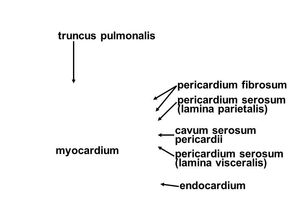 truncus pulmonalis pericardium fibrosum. pericardium serosum (lamina parietalis) cavum serosum pericardii.