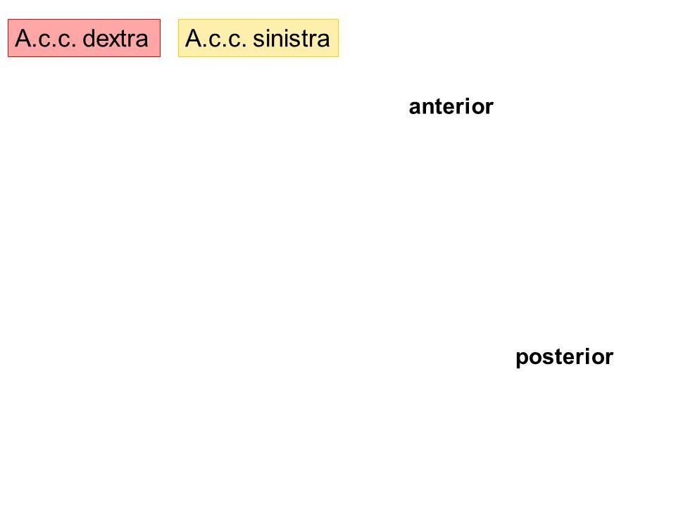 A.c.c. dextra A.c.c. sinistra anterior posterior