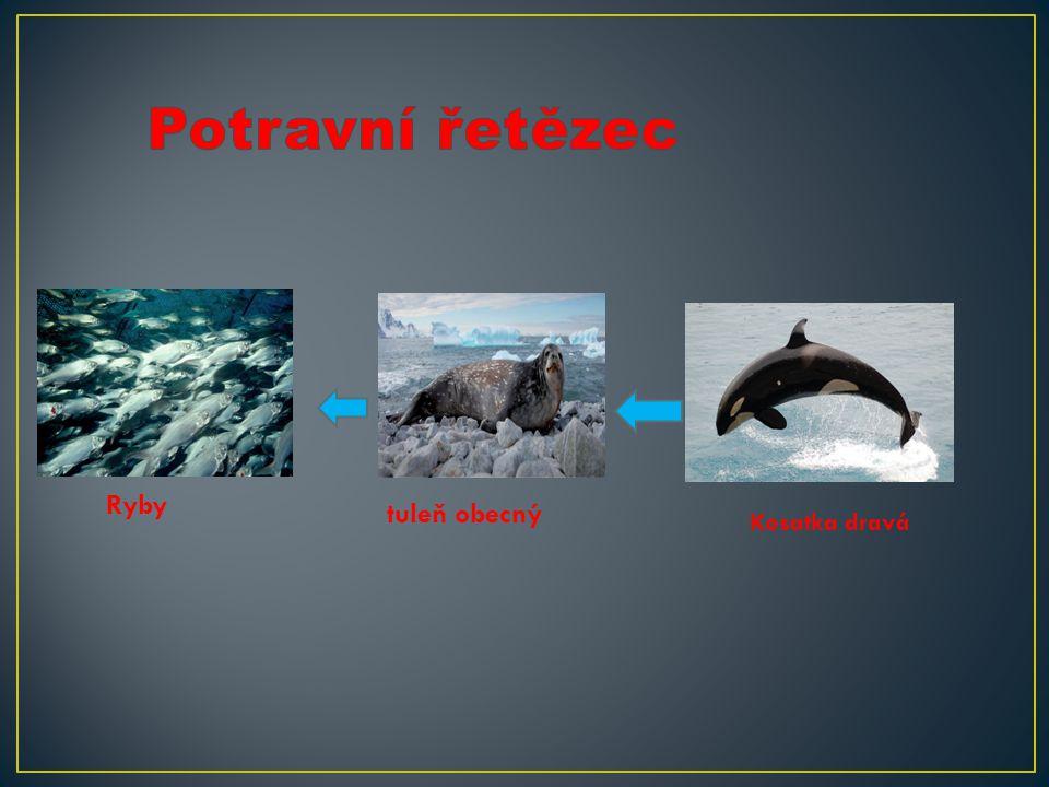 Potravní řetězec Ryby tuleň obecný Kosatka dravá