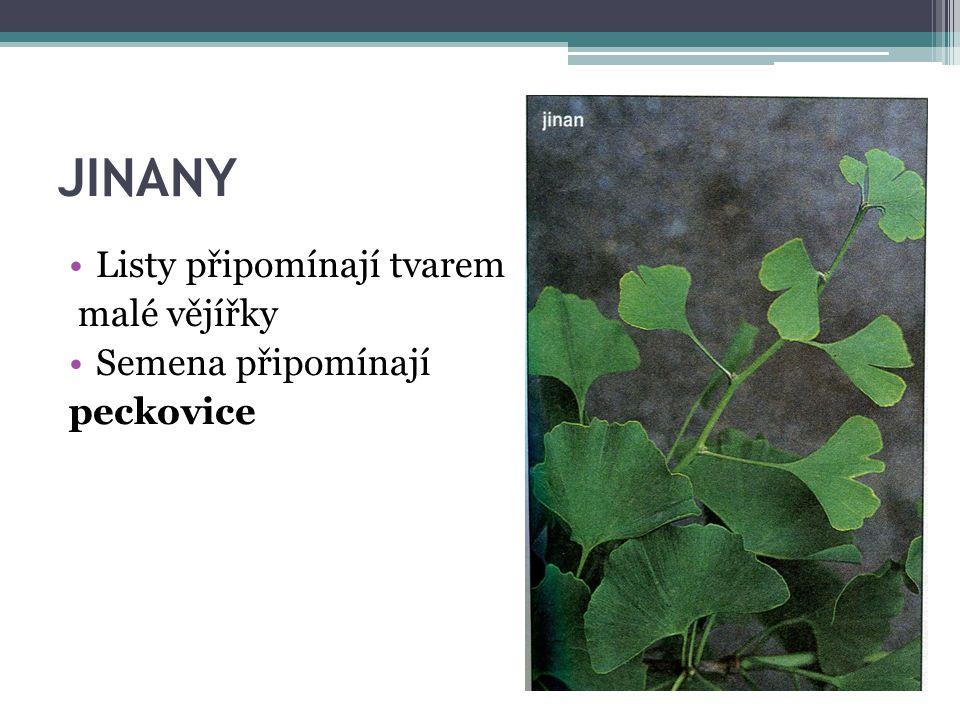 JINANY Listy připomínají tvarem malé vějířky Semena připomínají