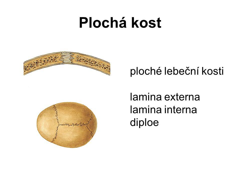 Plochá kost ploché lebeční kosti lamina externa lamina interna diploe