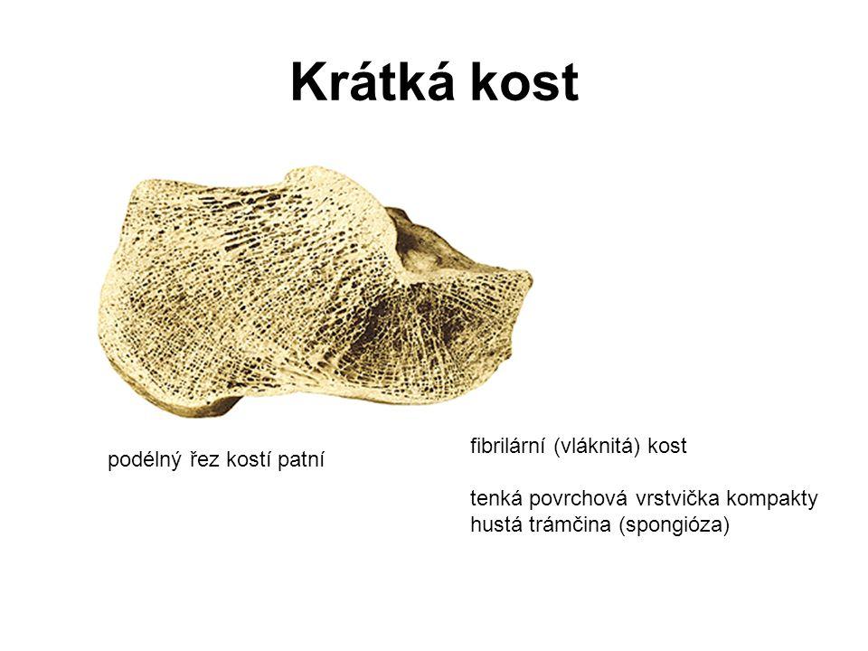 Krátká kost fibrilární (vláknitá) kost podélný řez kostí patní