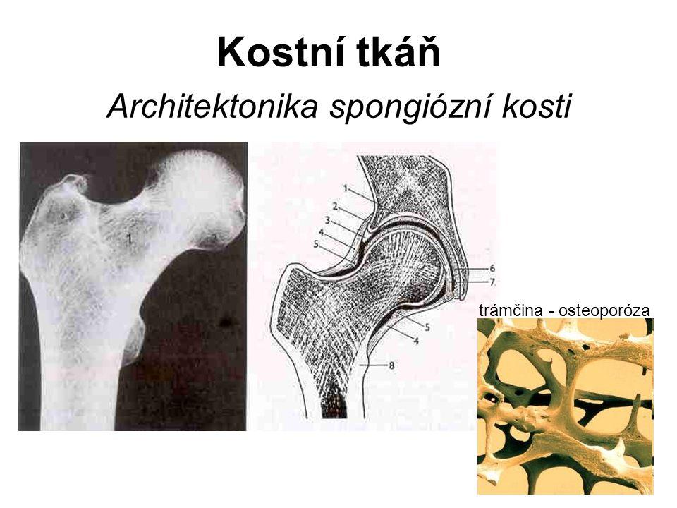 Architektonika spongiózní kosti