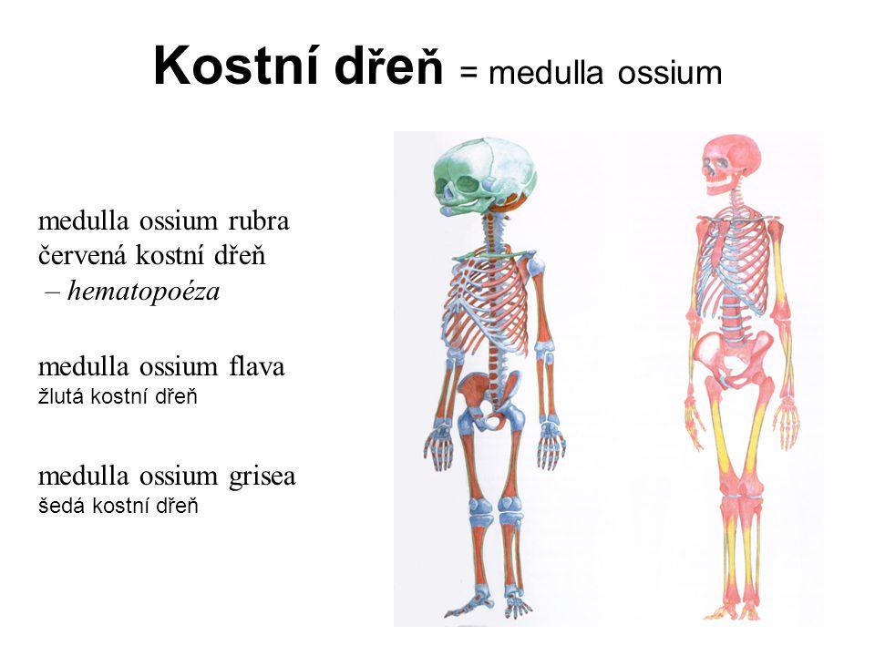 Kostní dřeň = medulla ossium